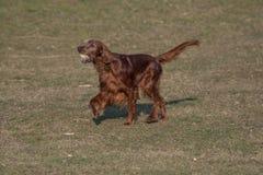 Ιρλανδικά τρεξίματα ρυθμιστών πέρα από τον τομέα Εκλεκτική εστίαση στο σκυλί Στοκ εικόνα με δικαίωμα ελεύθερης χρήσης