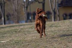 Ιρλανδικά τρεξίματα ρυθμιστών πέρα από τον τομέα Εκλεκτική εστίαση στο σκυλί Στοκ Εικόνες