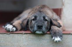 ιρλανδικό wolfhound στοκ φωτογραφία