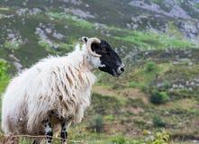 Ιρλανδικά πρόβατα βουνών blackface Στοκ εικόνα με δικαίωμα ελεύθερης χρήσης