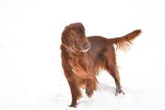 Ιρλανδικός κόκκινος ρυθμιστής φυλής σκυλιών Στοκ Εικόνες