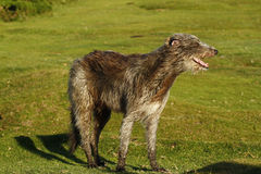 Ιρλανδικό κυνηγόσκυλο λύκων Στοκ φωτογραφίες με δικαίωμα ελεύθερης χρήσης