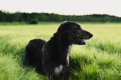 Ιρλανδικό Wolfhound που στέκεται στον τομέα σίτου στο ηλιοβασίλεμα Στοκ Φωτογραφία
