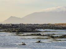 Ισλανδία - σφραγίδες που παίζουν δίπλα στην ακτή στοκ φωτογραφία