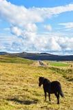 Ισλανδικά άλογα στην πράσινη χλόη κοντά σε έναν δρόμο στοκ εικόνες