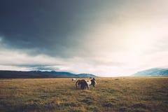 Ισλανδικά άλογα στο λιβάδι Στοκ Φωτογραφίες