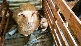 Ισλανδικά πρόβατα Στοκ Εικόνες