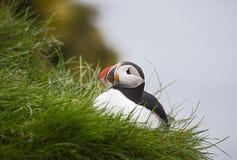 Ισλανδικές ομορφιές, κόκκινος-ραμφοειδές πουλί, όμορφο Στοκ Φωτογραφίες