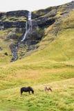 Ισλανδικοί άλογα και καταρράκτης σε μια πράσινη χλόη στοκ φωτογραφία με δικαίωμα ελεύθερης χρήσης