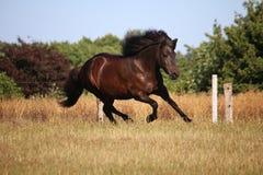 Ισλανδικό άλογο τρεξίματος στη μάντρα στοκ εικόνα με δικαίωμα ελεύθερης χρήσης