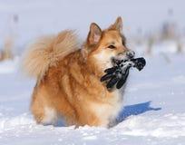 Ισλανδικό τσοπανόσκυλο παιχνιδιού στοκ φωτογραφίες με δικαίωμα ελεύθερης χρήσης