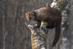 Ισορροπίες pennanti του Φίσερ Martes στον κορμό δέντρων Στοκ φωτογραφία με δικαίωμα ελεύθερης χρήσης
