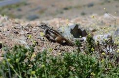 Ισπανία, Κανάριο νησί, ζωολογία Στοκ εικόνες με δικαίωμα ελεύθερης χρήσης