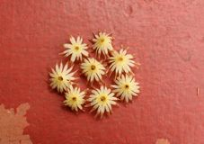 Ισπανικά λουλούδια κερασιών στοκ εικόνα