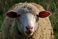 Ισπανικά πρόβατα που αντιμετωπίζουν τη κάμερα Στοκ Εικόνες