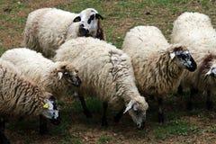 Ισπανικά πρόβατα σε ένα αγρόκτημα Στοκ φωτογραφία με δικαίωμα ελεύθερης χρήσης