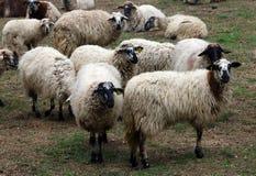 Ισπανικά πρόβατα σε ένα αγρόκτημα Στοκ εικόνες με δικαίωμα ελεύθερης χρήσης