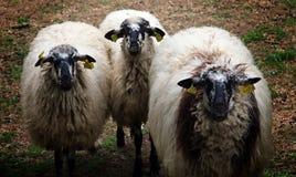 Ισπανικά sheeps σε ένα αγρόκτημα, αστεία προσοχή αμοιβής: Στοκ εικόνες με δικαίωμα ελεύθερης χρήσης