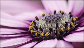 Ισπανική μαργαρίτα λουλουδιών Στοκ φωτογραφία με δικαίωμα ελεύθερης χρήσης