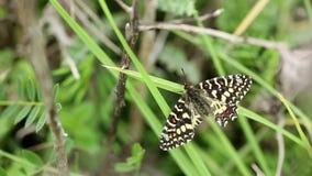 Ισπανική πεταλούδα γιρλαντών rumina Zerynthia φιλμ μικρού μήκους