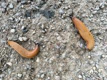 Ισπανικός γυμνοσάλιαγκας (Arion vulgaris) Στοκ Φωτογραφίες