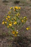 Ισπανικός κάρδος στρειδιών κάρδων με τα κίτρινα λουλούδια Στοκ Εικόνες