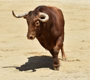 Ισπανικός ταύρος στην αρένα ταυρομαχίας στοκ εικόνες