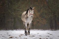 Ισπανικό άλογο στο χιόνι σε έναν τομέα στοκ φωτογραφία