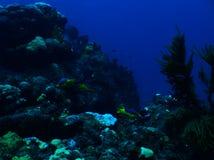 Ισπανικό Hogfish στοκ εικόνα