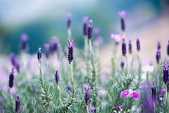 Ισπανικό Lavender στον κήπο στο βουνό Angkhang, chiangmai thail Στοκ φωτογραφίες με δικαίωμα ελεύθερης χρήσης