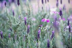 Ισπανικό Lavender στον κήπο στο βουνό Angkhang, chiangmai thail Στοκ φωτογραφία με δικαίωμα ελεύθερης χρήσης