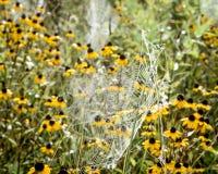 Ιστοί αραχνών με τα μαύρα Eyed λουλούδια της Susan στοκ εικόνες