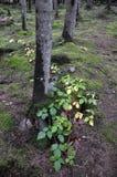 Ιστορία του δάσους βουνών Στοκ Εικόνα