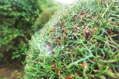 Ιστός αράχνης ή gossamer στο δέντρο πεύκων στοκ φωτογραφίες