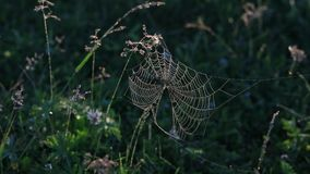 Ιστός αράχνης σε ένα misty ηλιόλουστο πρωί απόθεμα βίντεο