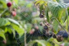 Ιστός αράχνης στα αλσύλλια του σμέουρου Στοκ εικόνα με δικαίωμα ελεύθερης χρήσης