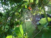 Ιστός αράχνης στο morninig σε ένα δέντρο μηλιάς Στοκ εικόνα με δικαίωμα ελεύθερης χρήσης