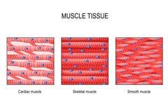 Ιστός μυών: Σκελετικός, ομαλός και καρδιακός ελεύθερη απεικόνιση δικαιώματος