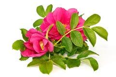 ισχία λουλουδιών Στοκ Φωτογραφία