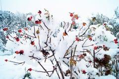 ισχία που καλύπτονται ροδαλά με το χιόνι στοκ φωτογραφίες με δικαίωμα ελεύθερης χρήσης