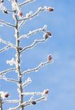 Ισχίο που καλύπτεται ροδαλό με το χιόνι στο χειμώνα Στοκ εικόνα με δικαίωμα ελεύθερης χρήσης