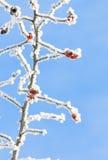 Ισχίο που καλύπτεται ροδαλό με το χιόνι στο χειμώνα Στοκ φωτογραφίες με δικαίωμα ελεύθερης χρήσης