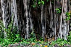 Ισχυρές ρίζες των παλαιών δέντρων Στοκ Εικόνες