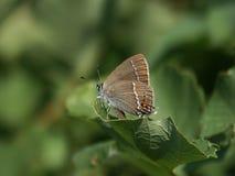 Ισχυρή πεταλούδα Στοκ εικόνες με δικαίωμα ελεύθερης χρήσης