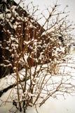 Ισχυρή χιονόπτωση στο γυμνό θάμνο Στοκ Φωτογραφία