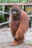 Ισχυρός γούνινος orangutan στέκεται κοντά σε μια ξύλινη πλατφόρμα με το ramb στοκ εικόνες με δικαίωμα ελεύθερης χρήσης