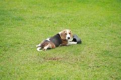 Ισχυρό αρσενικό ασημένιο τρι σκυλί λαγωνικών χρώματος Στοκ φωτογραφία με δικαίωμα ελεύθερης χρήσης