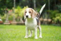 Ισχυρό αρσενικό ασημένιο τρι σκυλί λαγωνικών χρώματος Στοκ εικόνα με δικαίωμα ελεύθερης χρήσης