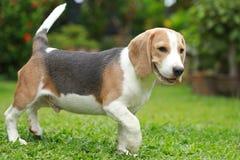 Ισχυρό αρσενικό ασημένιο τρι σκυλί λαγωνικών χρώματος Στοκ Φωτογραφίες