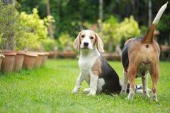Ισχυρό αρσενικό ασημένιο τρι σκυλί λαγωνικών χρώματος Στοκ Εικόνα